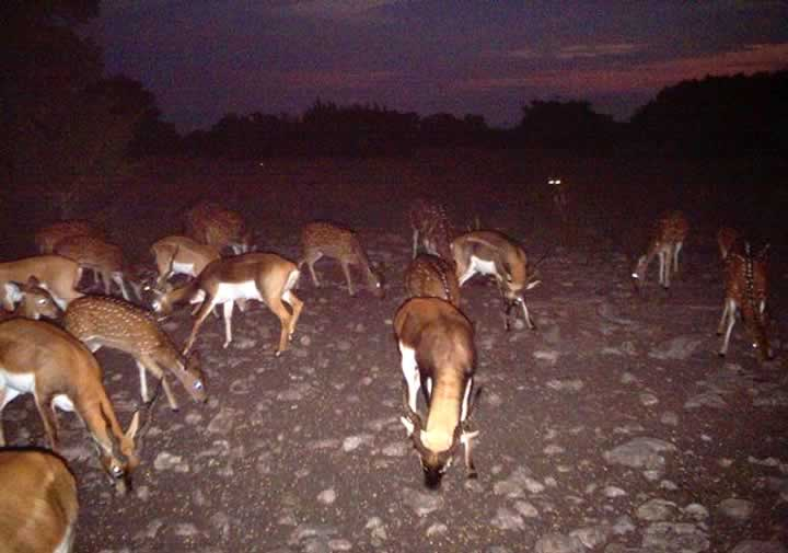 Lots of Blackbuck