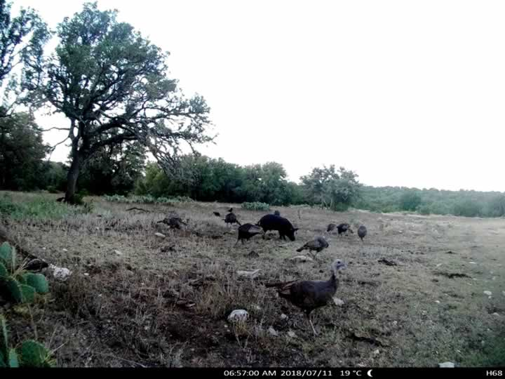 Turkey and Hogs