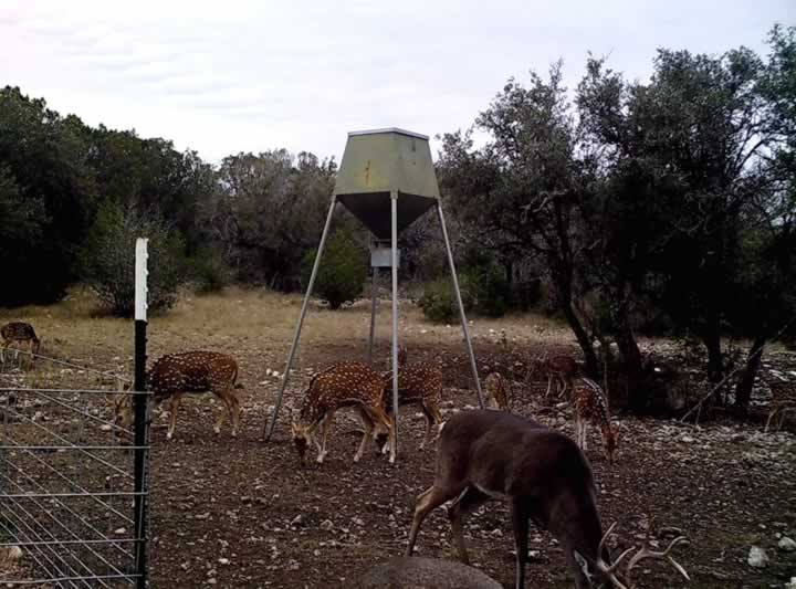 Whitetail Buck and Axis Herd