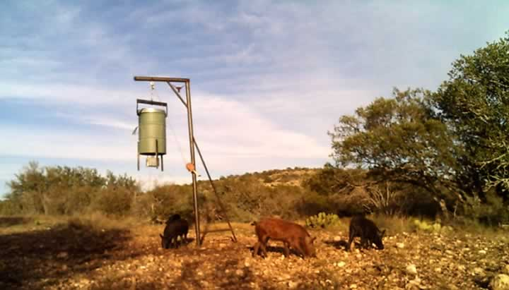 Hogs at Feeder