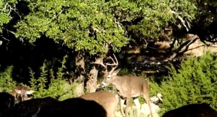 Whitetail Buck and Does