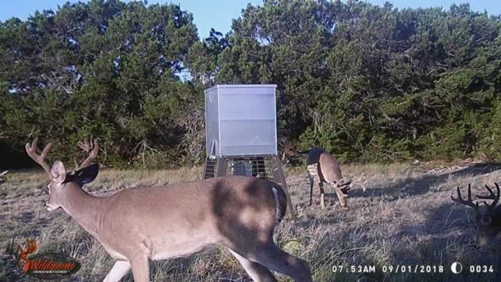 Young Whitetail Bucks